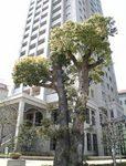宝塚歌劇の横の木